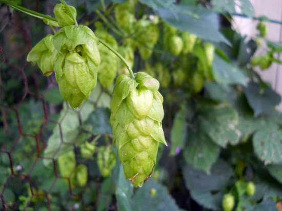 Hops. Photo by Kate Ter Haar